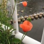 路肩に咲くオレンジの花は繁殖力が強くリスクが高いという